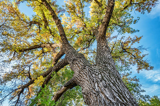 Giant cottonwood tree with fall foliage Giant cottonwood tree with fall foliage native to Colorado Plains, also the State tree of Wyoming, Nebraska, and Kansas - looking up cottonwood tree stock pictures, royalty-free photos & images