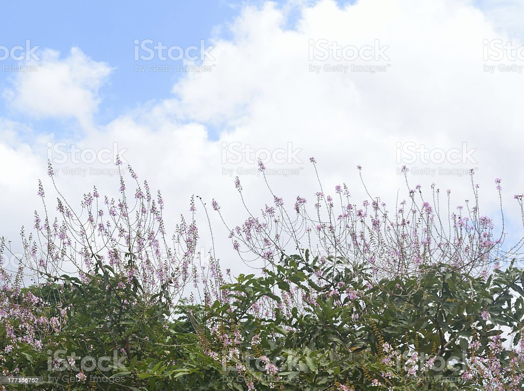 Giant Crape-myrtle with sky background royalty-free stock photo
