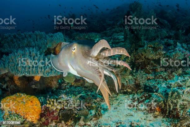 Giant cuttlefish picture id917008196?b=1&k=6&m=917008196&s=612x612&h=mv7c4rwg7nnlmjdvyh46crx8otoxxinleh2lmh7gmre=