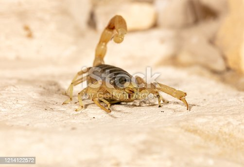 Known in Latin as Hadrurus arizonensis, this scorpion (also commonly known as Arizona desert hairy scorpion) is the largest in North America. The one pictured is a juvenile.