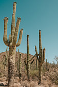 A group of Giant Saguaro Cacti in the Sonoran Desert in Saguaro National Park, Tuscon, Arizona, USA.