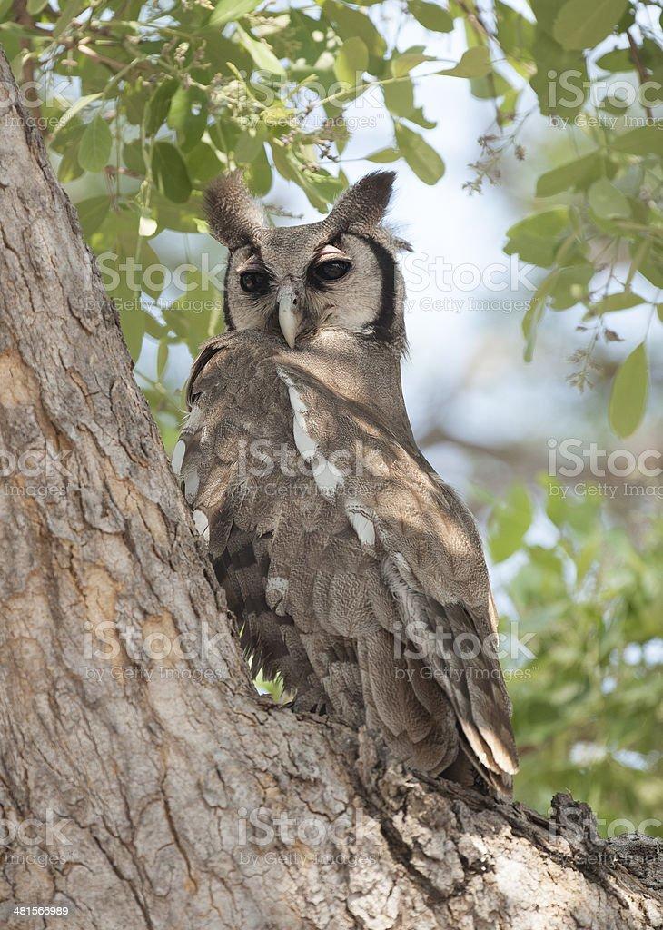 giant eagle owl royalty-free stock photo