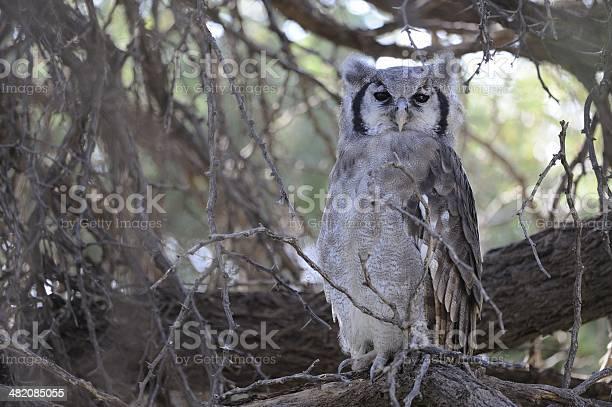 Giant eagle owl picture id482085055?b=1&k=6&m=482085055&s=612x612&h=mavcorlkb35bcni2k7g9qikdz6nid8nkmxntvhytnsw=