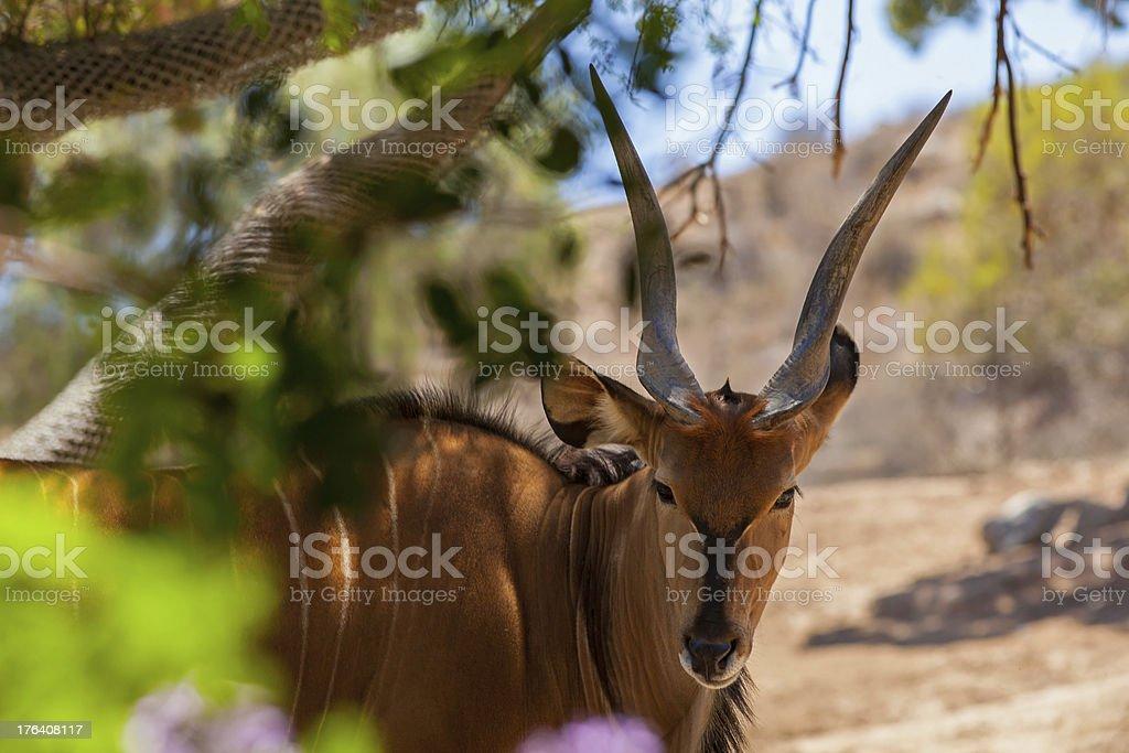 Giant Eland antelope royalty-free stock photo