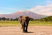 Giant Elephant grazing at Amboseli with Kilimanjaro