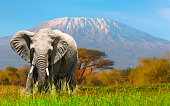 Giant Elephant grazing at Amboseli with Kilimanjaro
