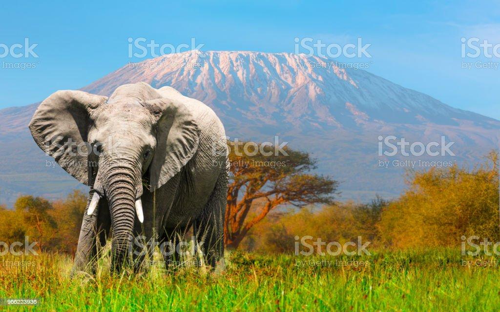 巨大な象のキリマンジャロとアンボセリに放牧 ストックフォト