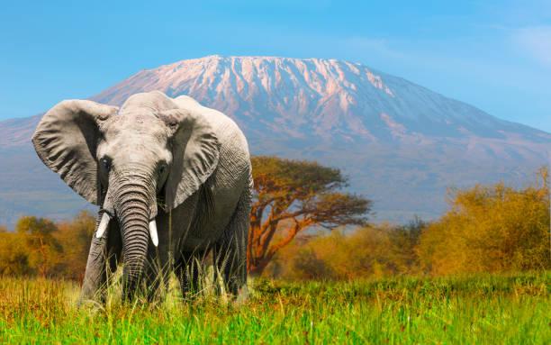 giant elephant grazing at amboseli with kilimanjaro - pianura foto e immagini stock
