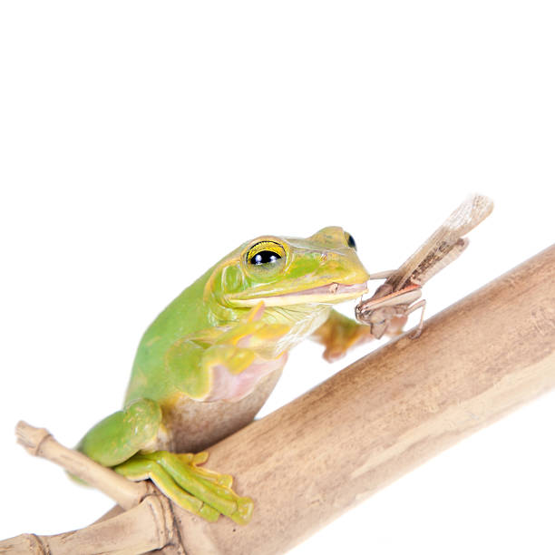 giant feae flying tree frog eating a locusts on white - croak stock pictures, royalty-free photos & images