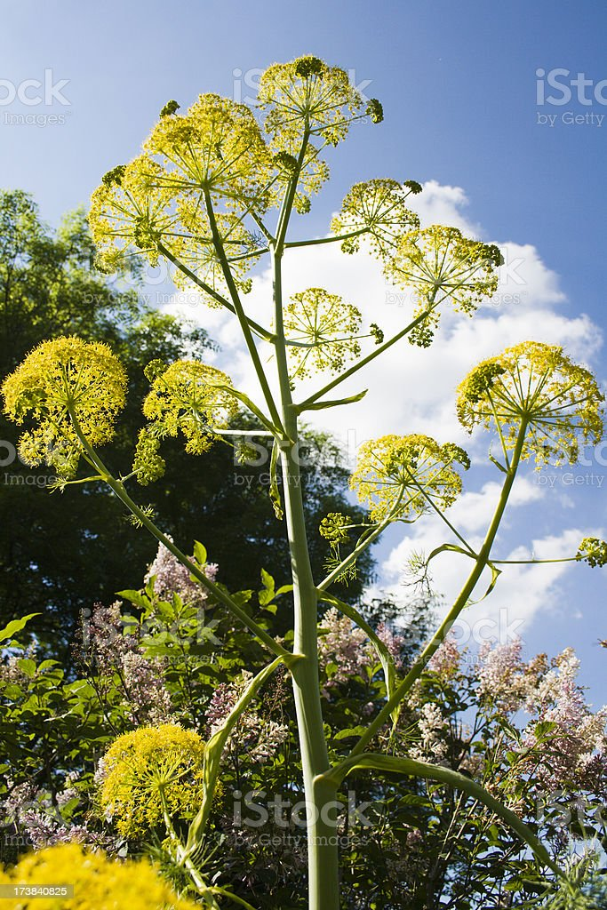 Giant Fennel royalty-free stock photo