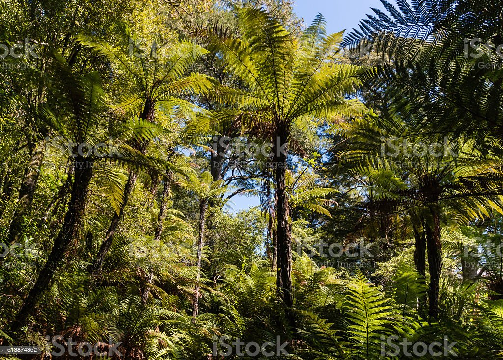 giant ferns growing in rainforest stock photo