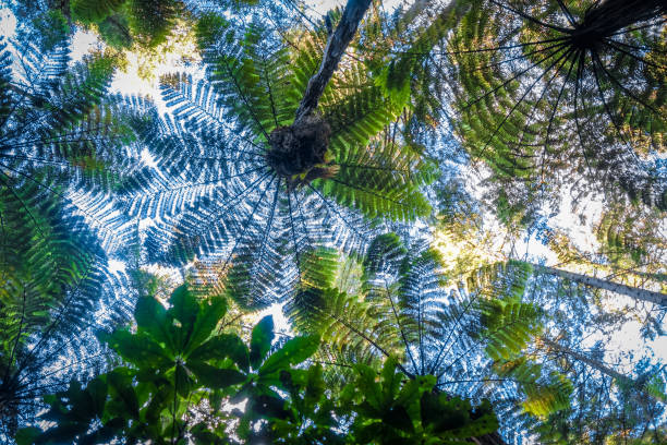 Giant ferns in redwood forest, Rotorua, New Zealand Giant ferns in Whakarewarewa redwood forest, Rotorua, New Zealand rotorua stock pictures, royalty-free photos & images