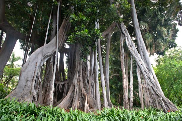 Riesenficus Baum , ficus benjamina im botanischen Garten – Foto
