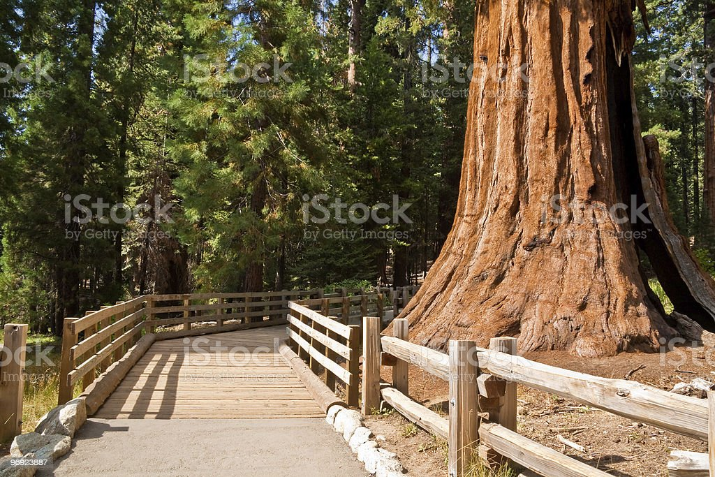 Giant Forest Path royalty-free stock photo