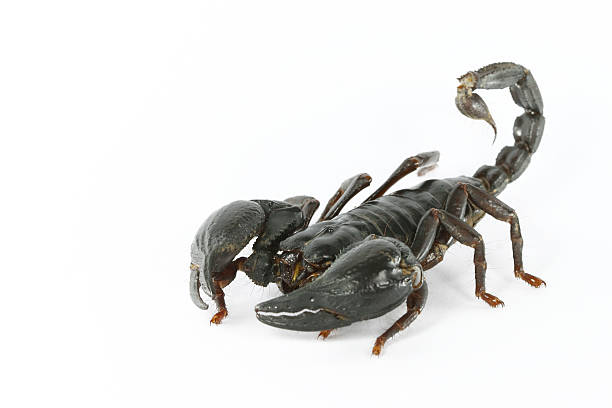 Giant forest scorpion stock photo