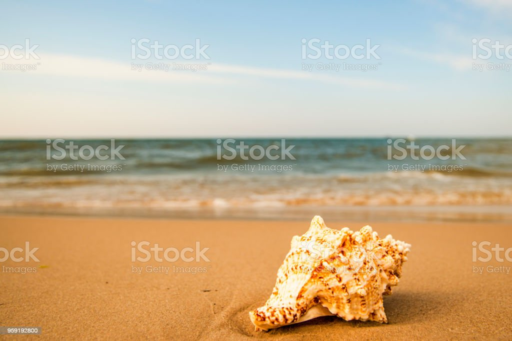 Giant Frog Shell on a beach with surf stock photo