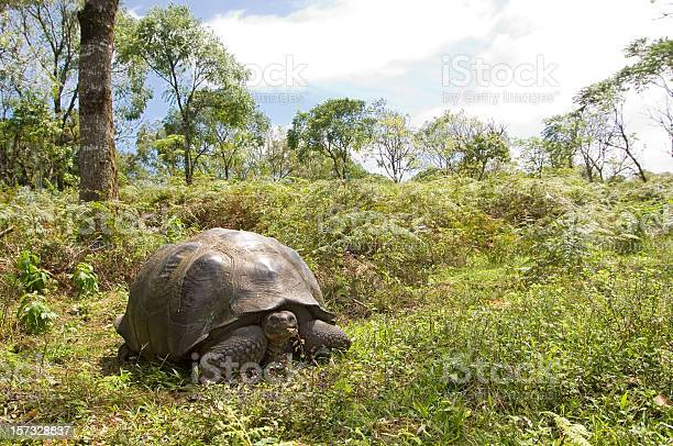 Giant galapagos tortoise turtle picture id157328837?b=1&k=6&m=157328837&s=612x612&h=siocffg4ja4brycbcla9o4eao1 tzmiqkozwzdtc18w=