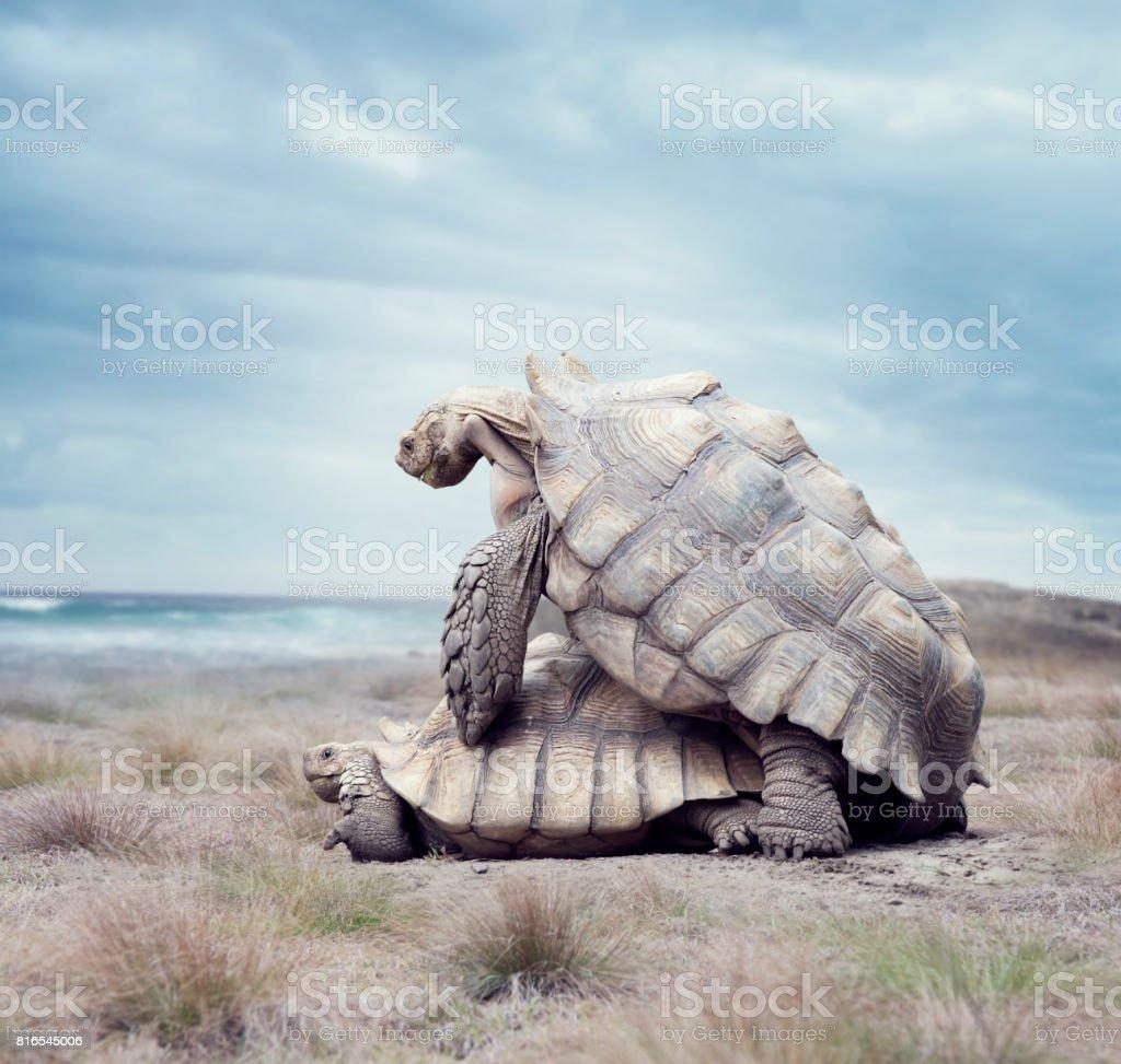 giant Galapagos turtles mating stock photo