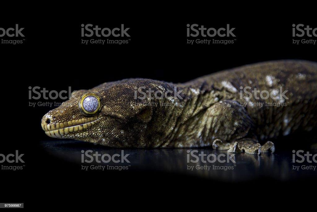 gecko géant photo libre de droits