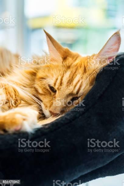 Giant ginger maine coone cat picture id834475942?b=1&k=6&m=834475942&s=612x612&h=nsorkomshrawkjcsgjqhwau jmquqn3zombwl 8uej8=