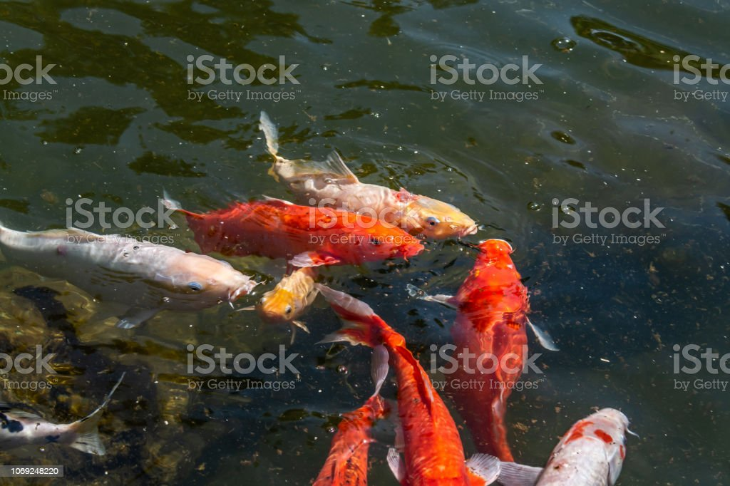 Giant Goldfish Collects Food On The Surface Of The Water
