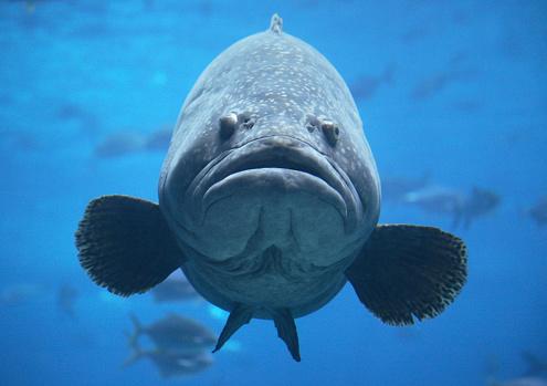 big jewfish or giant goliath grouper