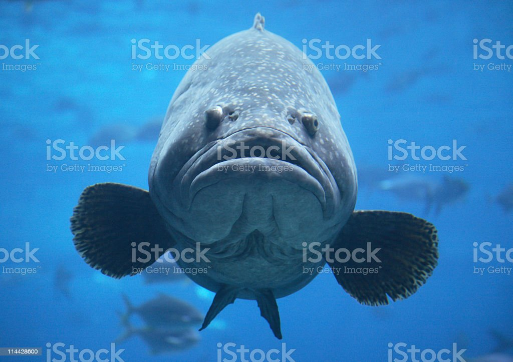 Giant goliath grouper in blue water stock photo