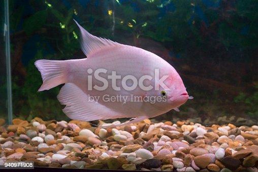 istock Giant gourami fish (Osphronemus goramy) in aquarium 940971908