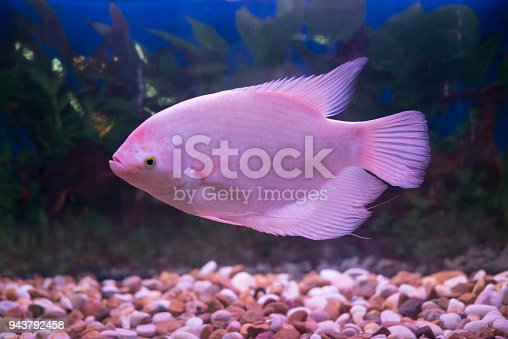 istock Giant gourami fish (Osphronemus goramy) in aquarium. Wildlife animal. 943792458