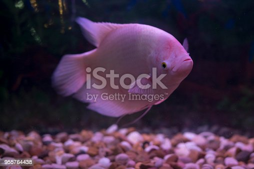 istock Giant gourami fish (Osphronemus goramy) in aquarium. Wildlife animal. 955764438