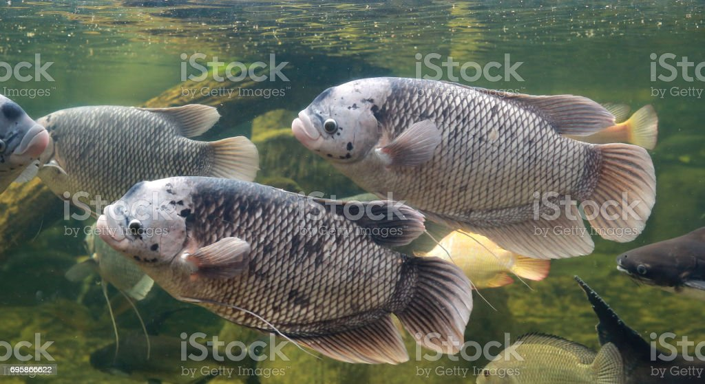 Giant gourami fish (Osphronemus goramy) swimming in a pond. stock photo