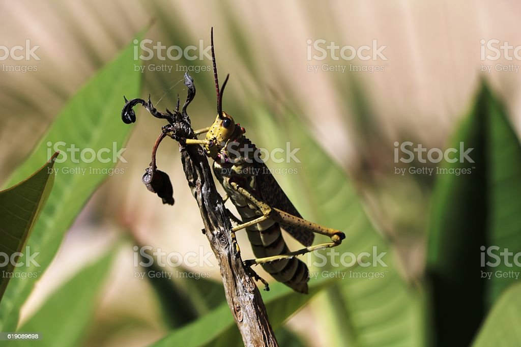 Giant grasshopper in Namibia, Africa stock photo