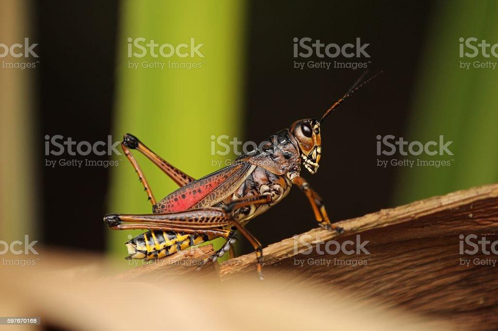 Giant Grasshopper stock photo