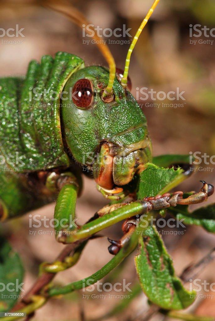 Giant grasshopper (Tropidacris collaris) stock photo