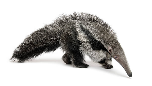 Giant gray anteater walking on white background Young Giant Anteater, Myrmecophaga tridactyla, 3 months old, walking in front of white background, studio shot. Giant Anteater stock pictures, royalty-free photos & images