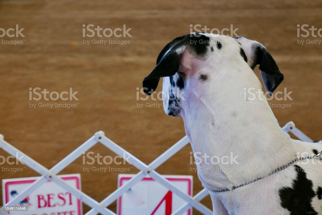 Giant Great Dane Dog stock photo