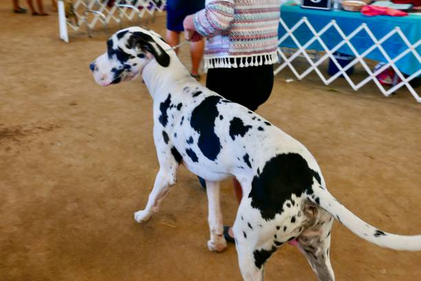 Giant Great Dane Dog stock photo