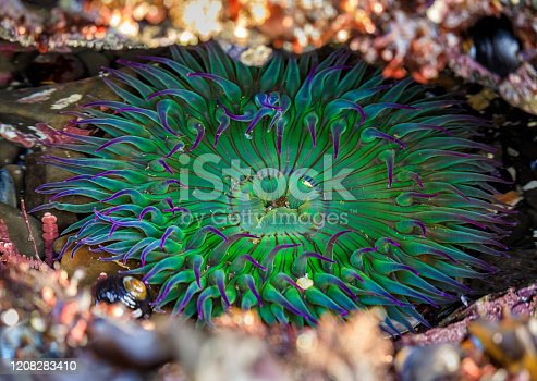 Giant green anemone under water in a Pacific Ocean tide pool at the Fitzgerald Marine Reserve in Northern California, Bay Area south of San Francisco