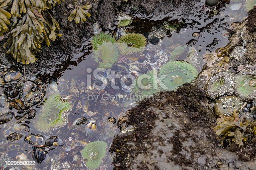 Tide pools with Giant Green Anemones in it on Cobble Beach below Yaquina Head Lighthouse in Oregon