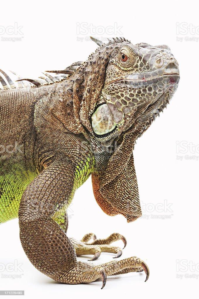 Giant green iguana stock photo