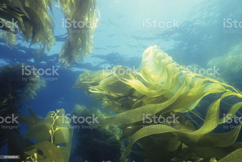Giant Green Kelp Forest stock photo