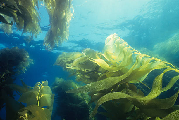 giant green kelp forest - zeewier stockfoto's en -beelden