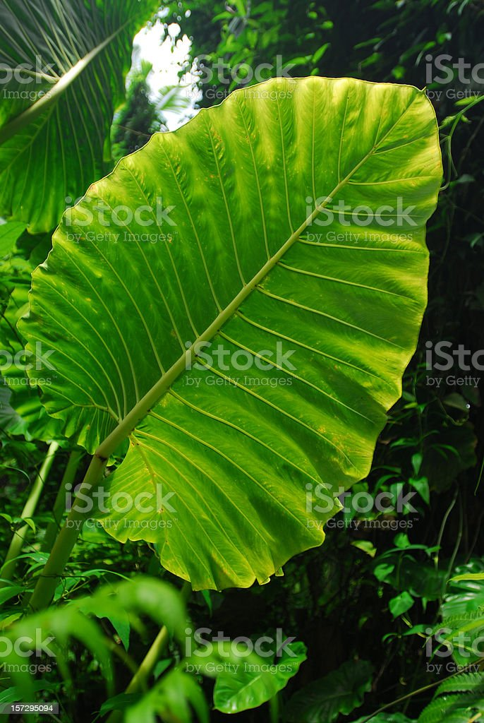 Giant green leaf royalty-free stock photo