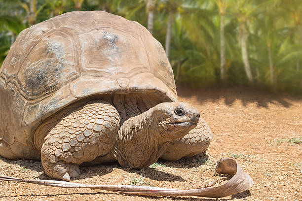 Giant grey tortoise on the background of palm trees stock photo
