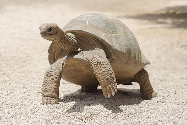 Giant grey tortoise standing on tropical island stock photo