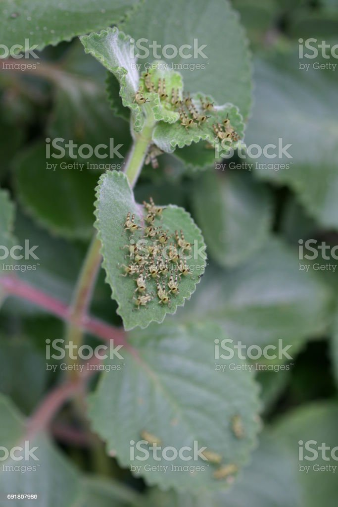 Giant Hedge Grasshopper Nymph on Herb Leaves stock photo