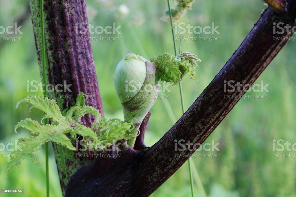Giant Hogweed Bud closeup stock photo