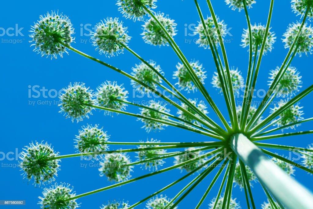 Reuzenberenklauw koe-gras groeit naar de zon, de onderste weergave closeup foto