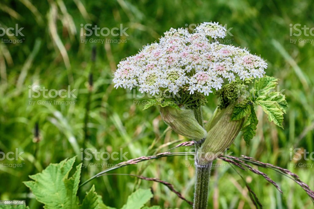 Giant Hogweed, Giant Cow Parsnip or Giant Cow Parsley (Heracleum mantegazzianum) foto