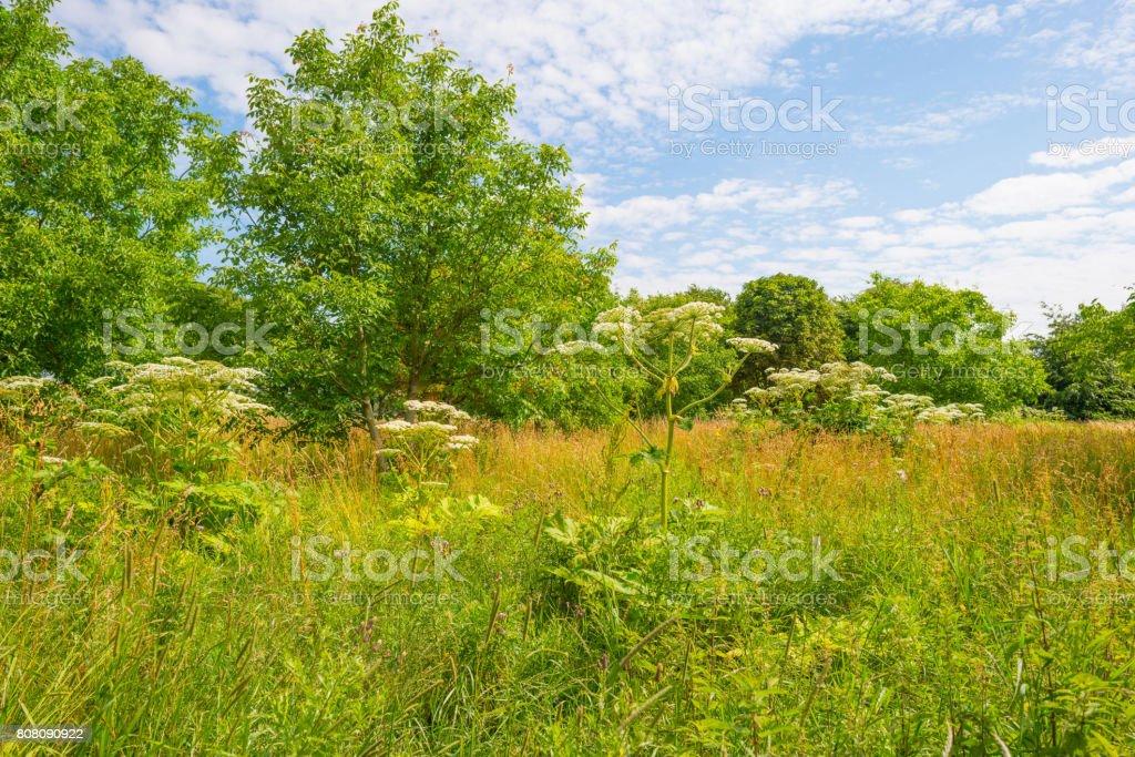 Reuzenberenklauw in een veld in het zonlicht in de zomer foto